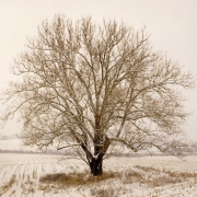 Sycamore-in-Winter