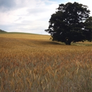 Wheat-&-Tree,-Gallatin,-NY