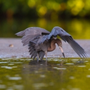 Reddish Egret, Sanibel_54A0912