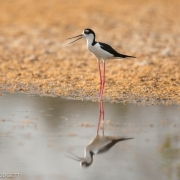 Black Necked Stilt _54A1226