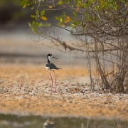 Black Necked Stilt, Sanibel_54A1348