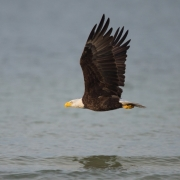 Bald Eagle, Bunch Beach_54A1525