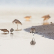 Shore Birds, Sanibel_54A1732