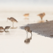 Shore Birds, Sanibel_54A1733