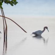 Little Blue Heron_54A2036