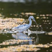 Little Blue Heron_54A2217