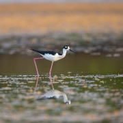 Black Necked Stilt, FL_54A2504