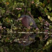 Green Heron_54A3923