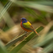 Painted Bunting, FL_54A4161