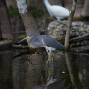 Tri-Colored Heron, Everglades_54A5861