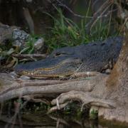 Alligator_54A5866
