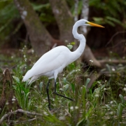 Great Egret, Everglades_54A5892