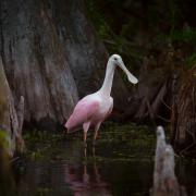 Spoonbill, Everglades_54A5918