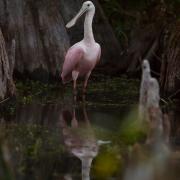 Spoonbill, Everglades_54A5925