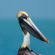 Brown Pelican, Key West, FL_54A9096