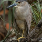 Black Crowned Night Heron 9546