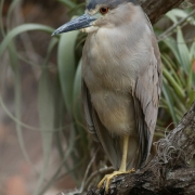 Black Crowned Night Heron 9549
