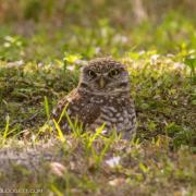 Burrowing Owl, Ft. Lauderdale 3383