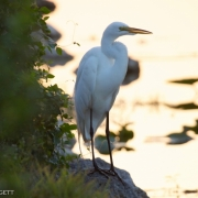 Great Egret 1445