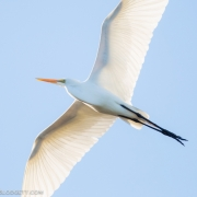 Great Egret, Everglades 4393