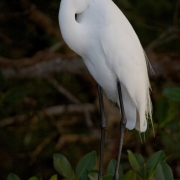Great Egret1878