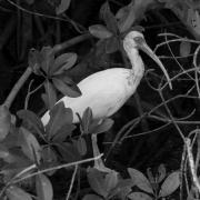 White Ibis IMG_1787