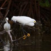 Snowy Egrets IMG_1869