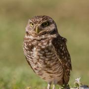 Burrowing Owl IMG_3337