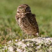Burrowing Owl IMG_3342
