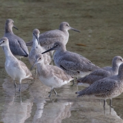 Willets IMG_8874