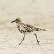 Plover IMG_8992