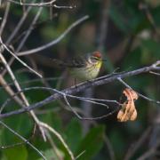 Palm Warbler IMG_9111