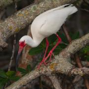 White Ibis IMG_9126