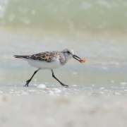 Plover IMG_9310