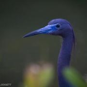 Little Blue Heron, FL 9104