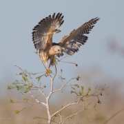 Red Shouldered Hawk 0473-2