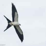 Swallow Tailed Kite 9544