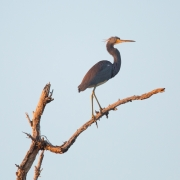 Tri-Colored Heron 1262