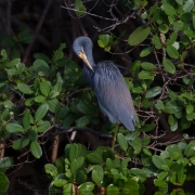 Tri-Colored Heron 1598