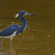 Tri-colored Heron 8819