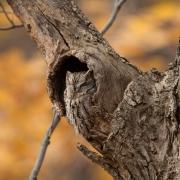 Screech Owl-34