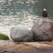 Bald Eagle, Deer Isle Maine 54A4867