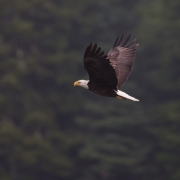 Bald Eagle, Deer Isle Maine_54A4871