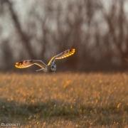 Short Eared Owl 54A5038