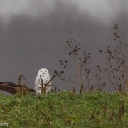 Snow Owl in Green Field 54A5125