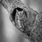 Screech Owl 33