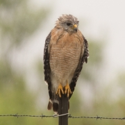 Red Shouldered Hawk_54A6054