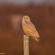 Snowy Owl on Post_54A7518