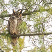 Great Horned Owl 54A7797