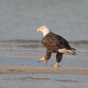 Bald Eagle 1501